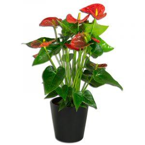 Anthurium Rouge L'anthurium est une plante d'intérieur originaire d'Amérique du sud. On voit souvent cette plante tropicale avec de magnifiques fleurs rouges mais il existe de très nombreuses couleurs allant du blanc au chocolat en passant par le vert et le rose. C'est la plante idéale pour faire rentrer les tropiques dans votre salon  Plantes