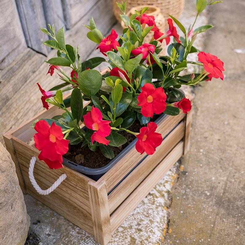 Dipladenia rouge jardinière UNE PROFUSION DE FLEURS TOUT L'ÉTÉ PLEIN SOLEIL. LE DIPLADENIA RESISTE AUX ÉTÉ CHAUD . PLANTE EN JARDINIERE DE 50 CM Le Charmant Plante