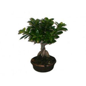 Ficus Ginseng Bonsaï LeFicus Ginseng