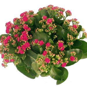 Kalanchoe Rose  En coupe Plantes