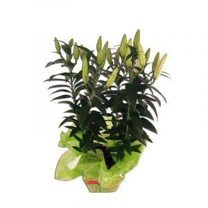 Lys Oriental Blanc Ce pot deLysOriental Blanc parfumera votre intérieur de notes épicées. Lelysest une plante à bulbe à floraison estivale.  Plantes