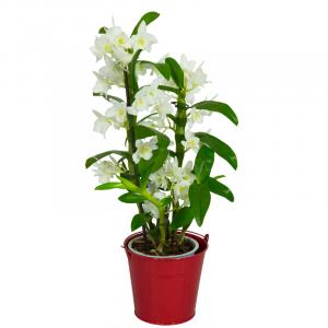 Orchidée Dendrobium Blanche  2 Plantes