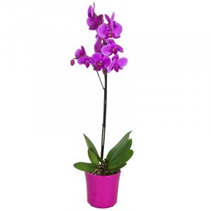 Orchidée Phalaenopsis Mauve Violet  2 Fleurs Petits Prix > Plantes