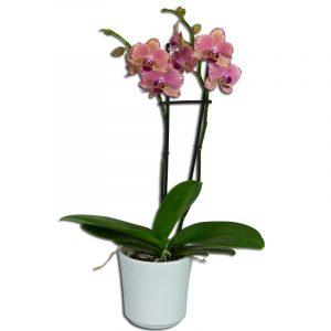 Orchidée Phalaenopsis Rose  2 Fleurs Petits Prix > Plantes
