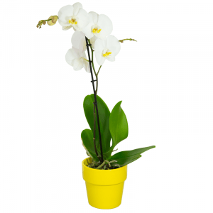 orchidee-phalaenopsis-blanche (4)