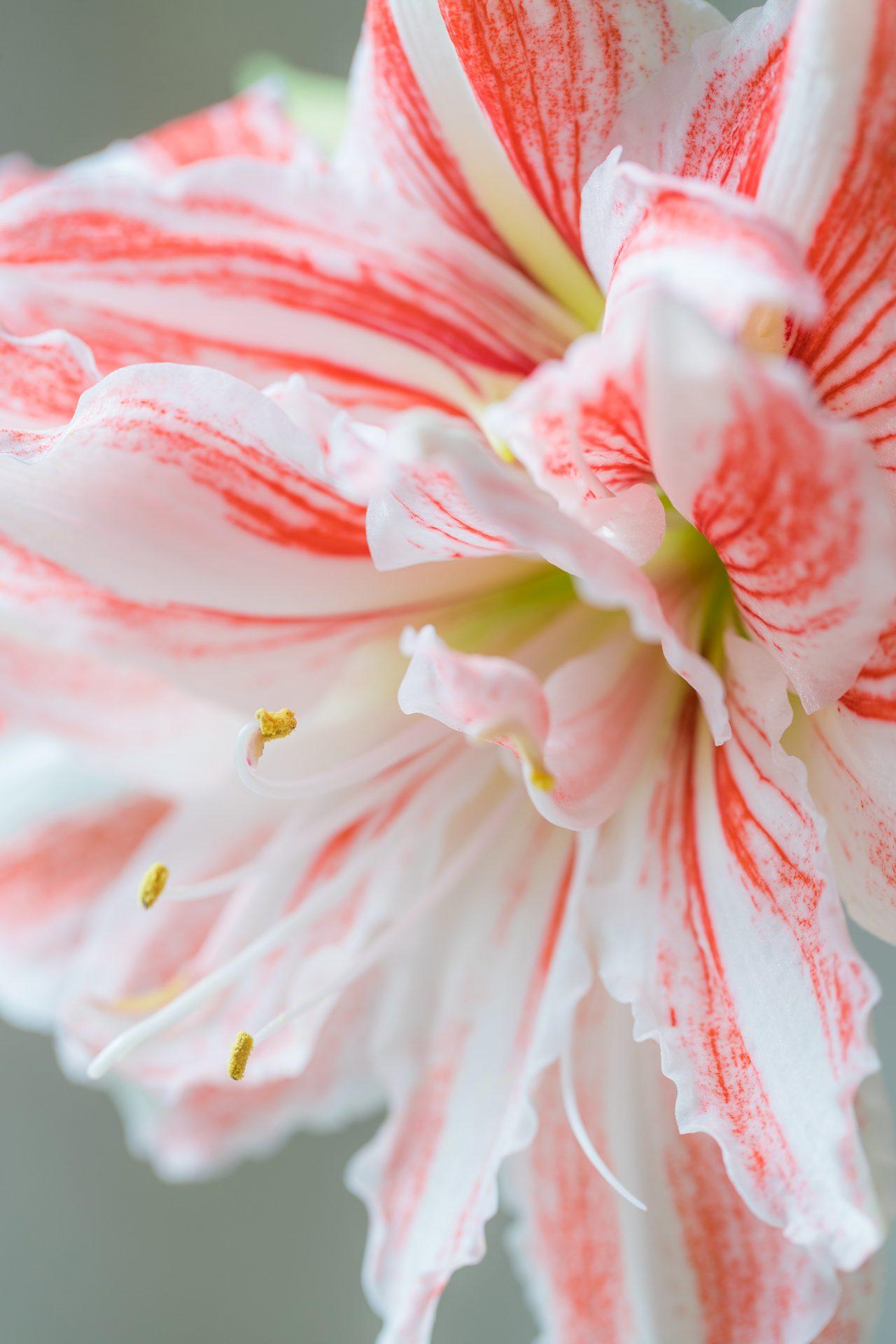 fleur amaryllis acheter