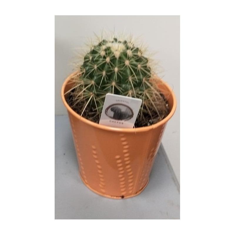 cactus-echinocactus