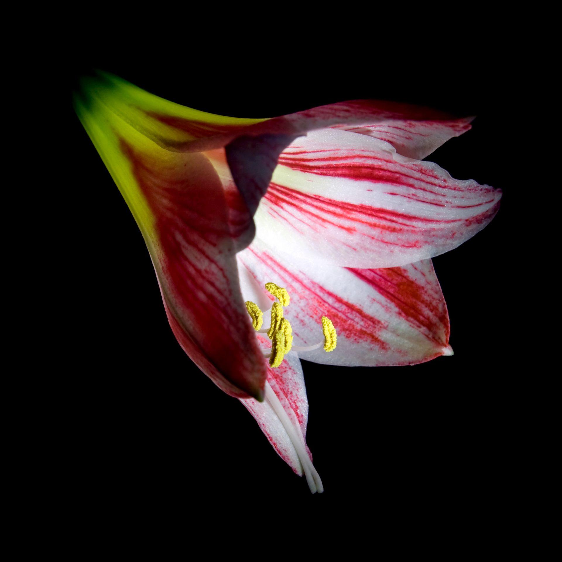 fleur amaryllis à acheter
