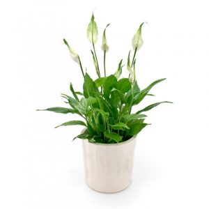 spathiphyllum-fleur-de-lune (1)
