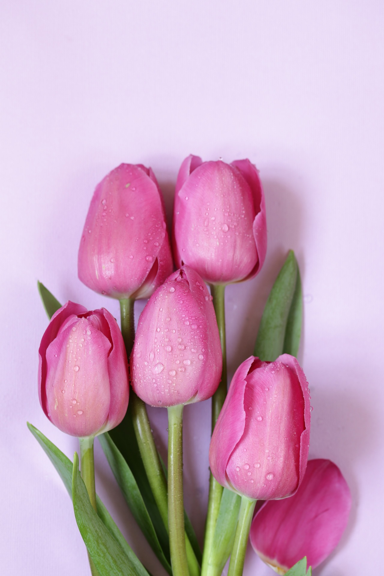 Tulipes fleuriste
