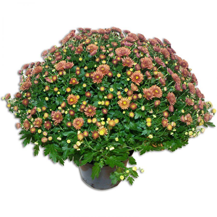 Chrysanthême  Violet Plantes
