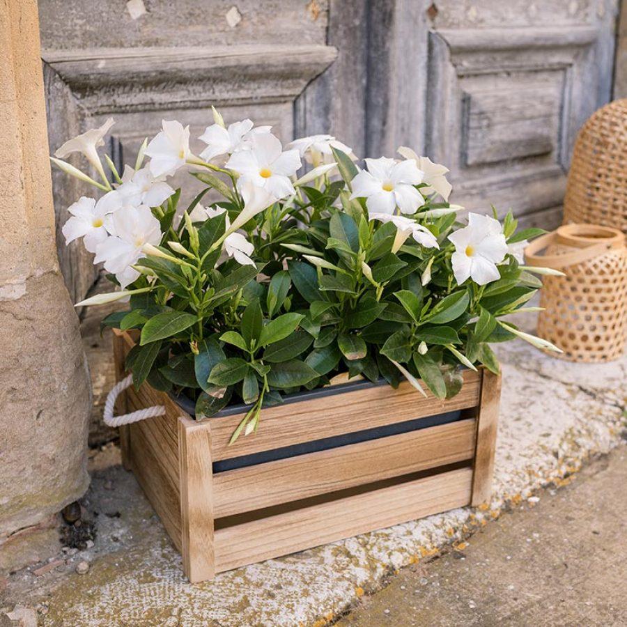 Dipladenia blanc jardinière UNE PROFUSION DE FLEURS TOUT L'ÉTÉ PLEIN SOLEIL. LE DIPLADENIA RESISTE AUX ÉTÉ CHAUD . PLANTE EN JARDINIERE DE 50 CM Le Charmant Plante