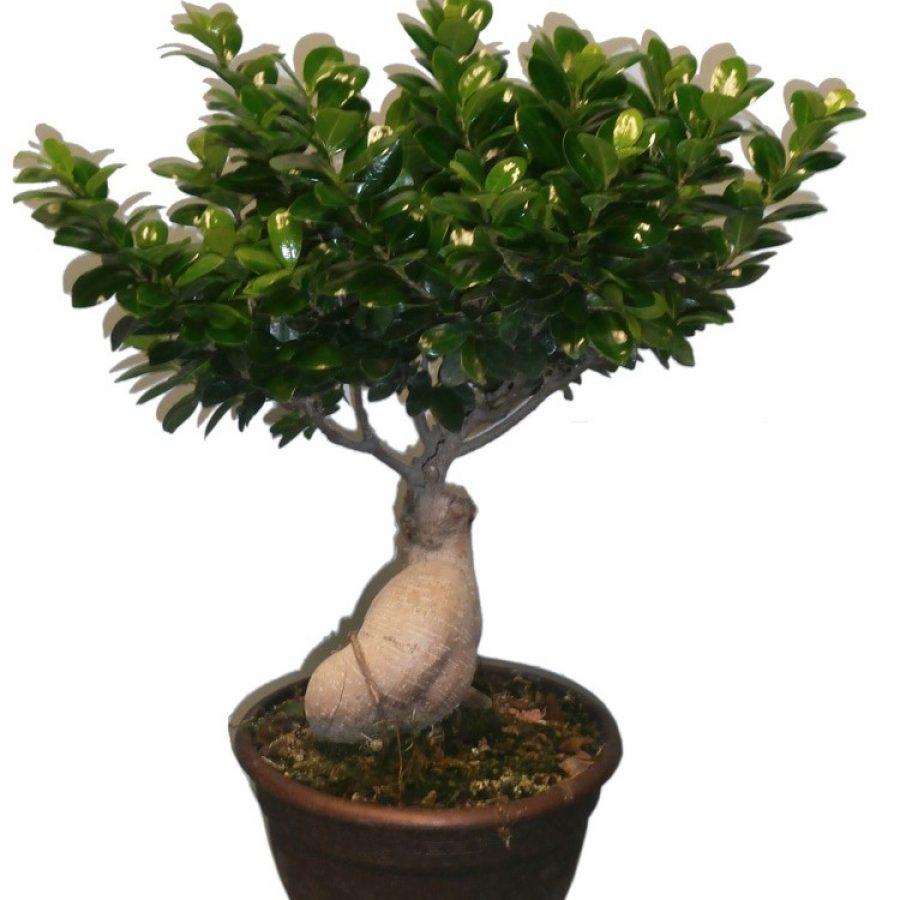 Ficus Ginseng LeFicus Ginseng