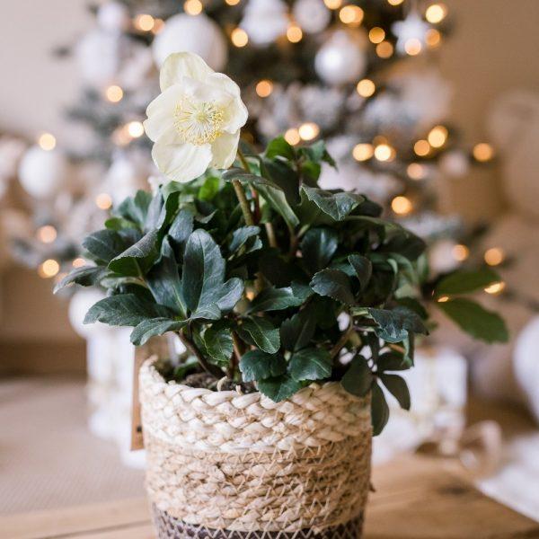 rose de Noël, hellebore