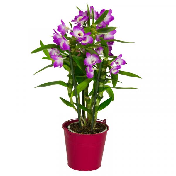 orchidee-dendrobium-mauve